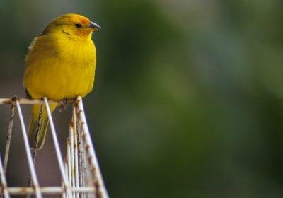 canary_03